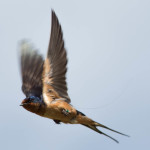 Tagged swallow in flight