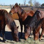 4 Mustangs 11.2016